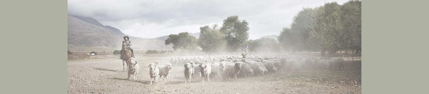 Producent odzieży i bielizny z merynosów Dilling zwraca ogromną uwagę na dobrostan owiec, z których pozyskiwana jest wełna